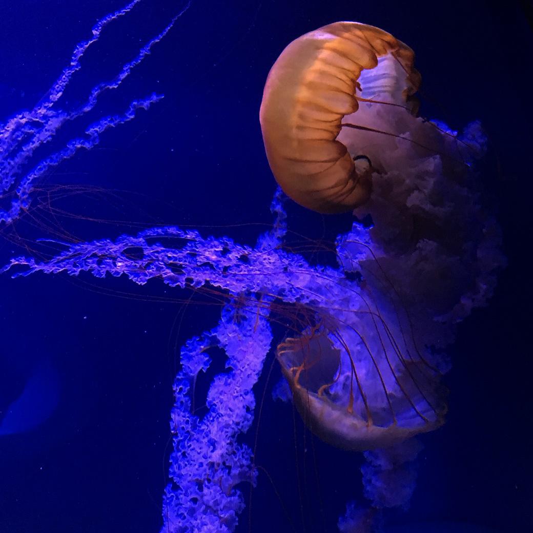 Die Medusas im Oceanografic Valencia. Riesige Quallen und so wunderschön!