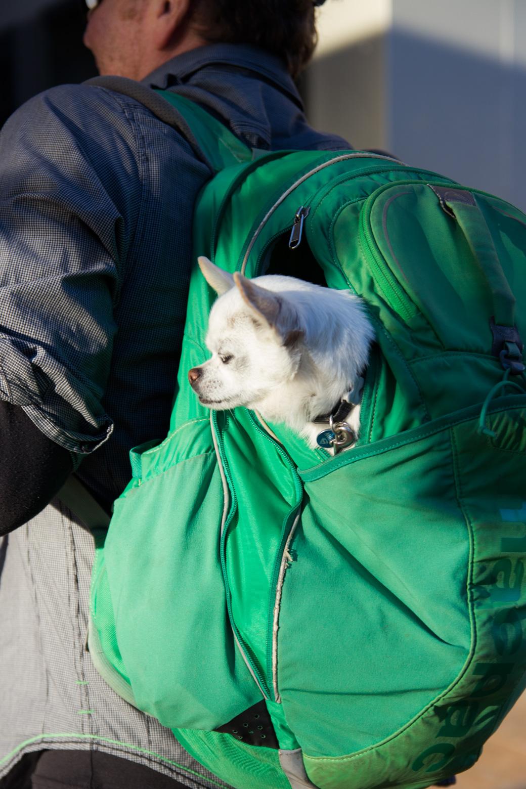 Millau, der kleine Chihuahua, praktisch verpackt in Alicante.
